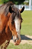 Head Of Clydesdale Horse