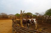 stock photo of zulu  - African Nguni bulls at the Great Kraal in Zululand - JPG