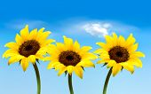 Nature background with three yellow sunflowers. Vector
