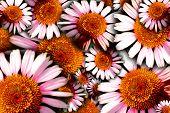 Echinacea Flowers Background
