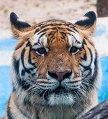 stock photo of cute tiger  - Tiger page noticeable in the zoo of Thainald - JPG