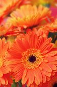 Orange gerbera flowers close-up