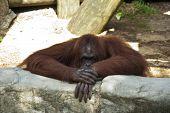 Orangután pensando