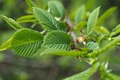 Dehiscing On Hazel Leaves