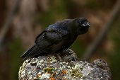pic of angry bird  - An angry looking black bird found in Yellowstone National Park - JPG