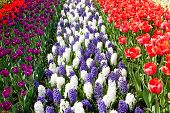 Dutch Bulb Field With Colorful Tulips And Hyacinth Flowers