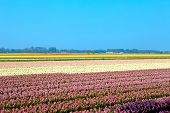 Dutch Bulb Field