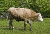 foto of feedlot  - sunny rural scenery including a brown cow - JPG