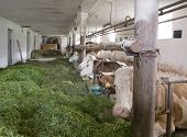 Dentro de um celeiro de vaca