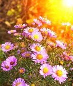 Flores de crisantemo en Cantero