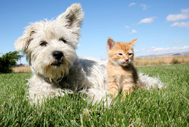stock photo of cat dog  - A six week old kitten and a white terrier on lawn    - JPG