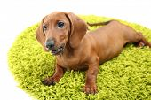 Cute dachshund puppy on green carpet, isolated on white