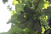 Oak Brach