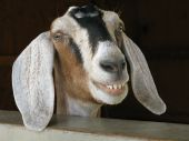 picture of nubian  - A Nubian goat with its long floppy ears shows its best smile - JPG