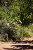 Rocky Mountain Sheep  ( Ovis Canadensis )  Grazing