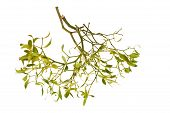 Mistletoe Branch