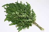 picture of moringa oleifera  - Moringa Oleifera leaf branches with white background - JPG