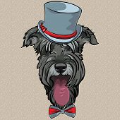 stock photo of schnauzer  - hipster dog Schnauzer breed in a gray hat and bow tie - JPG