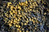 Bladder Rockweed