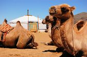 Camels in front of yurt