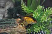 Fan Tailed Goldfish Swimming