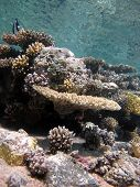 picture of damselfish  - Table corals with humbug dascyllus damselfish and blue water - JPG