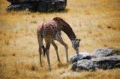 Giraffe foraging