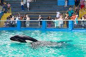 MIAMI,US - DECEMBER 8,2013:Lolita,the killer whale at the Miami Seaquarium.Founded in 1955,the oldes