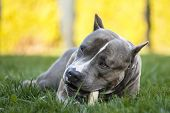 American Staffordshire Terrier With Bone