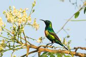 Male Beautiful Sunbird Moringa Blossoms