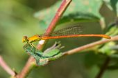 Male Common Orange Damselfly