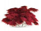 Plant bush with red leaves isolated.