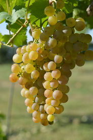 stock photo of tokay wine  - Racemations of white grapes are sunlit - JPG