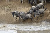 Wildebeest jumping in the Mara river