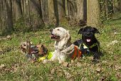 picture of schnauzer  - Group of dogs are lying in the woods - JPG