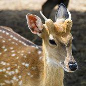 Sika Deer Female.