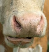 Rehashing Cow