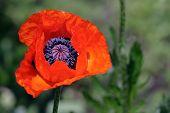 Red Poppy In Spring