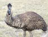 Постер, плакат: Emu in rural setting