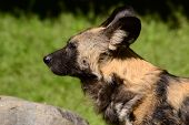 picture of hyenas  - hyena nature stands near a stone and looks forward - JPG