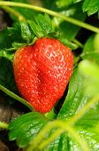 Red Ripe Strawberry On The Bush