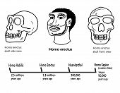 Homo erectus face and skull illustrations