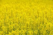image of rape-seed  - Field of yellow blooming rape seed - JPG