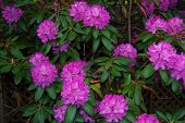 Mountain Rosebay - Rhododendron catawbiense