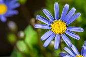 Blue Marguerite