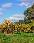Grape Vines At Autumn In Winery Vineyard, Taken At Barossa Valley, South Australia.
