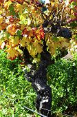 Close Up Of Grape Vine With Autumn Leaves In Australian Winery Vineyard.