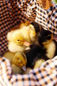 Cute ducklings together in basket
