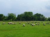 foto of lax  - flock of sheep on green grass - JPG