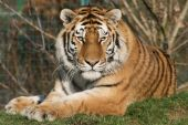 Large male Amur Tiger resting in the sunshine